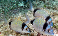 COMMON TWO-BANDED SEABREAM