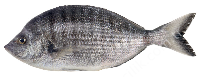SHARPSNOUT SEABREAM