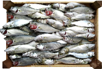 ANCHOA DE BANCO