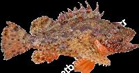 Черноморская скорпена-ёрш