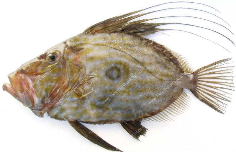 john dory pan fried john dory recipe file 2730 pan fried john file ...